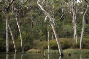 Margaret River Karri