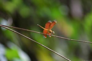 Female Red Parasol