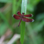 Male Red Parasol